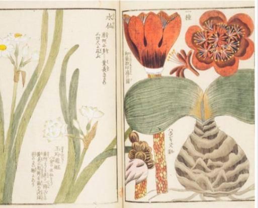 Manuscrito de botánica japonesa del siglo XIX
