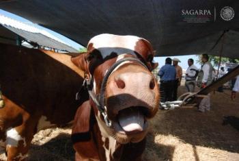 México recibe el primer embarque de ganado bovino guatemalteco certificado
