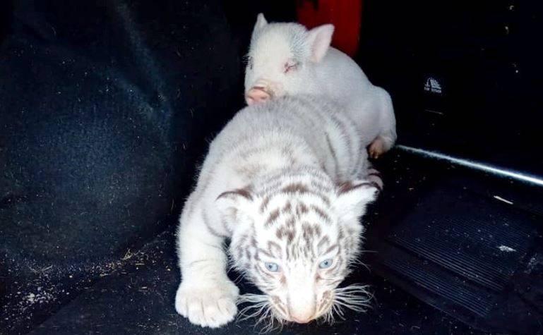 Guardia Nacional asegura cachorro de tigre de bengala blanco