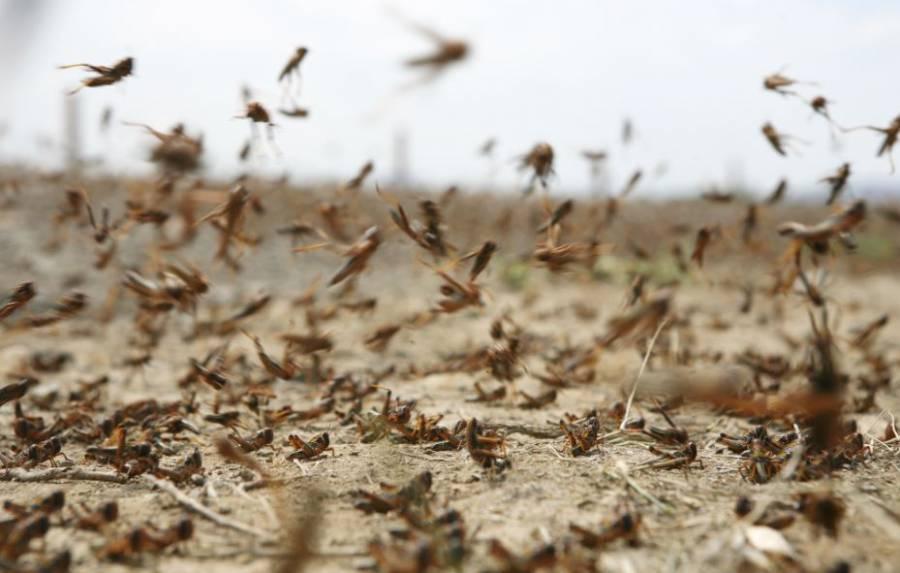 Una plaga de langostas avanza fuera de control por Argentina [Video]