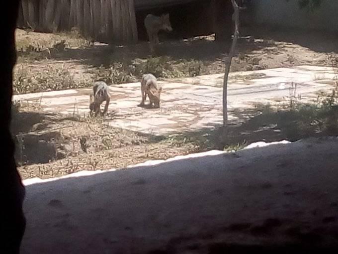 Nacen dos Lobos mexicanos en Zoológico de San Juan de Aragón