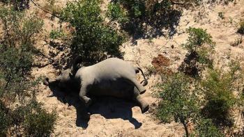 Cerca de 300 elefantes mueren sin explicación en Botsuana