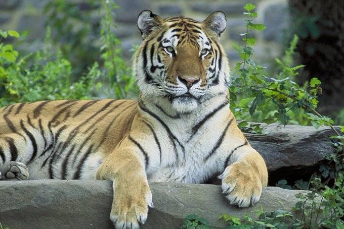 Tigre siberiano asesina a su cuidadora en Suiza