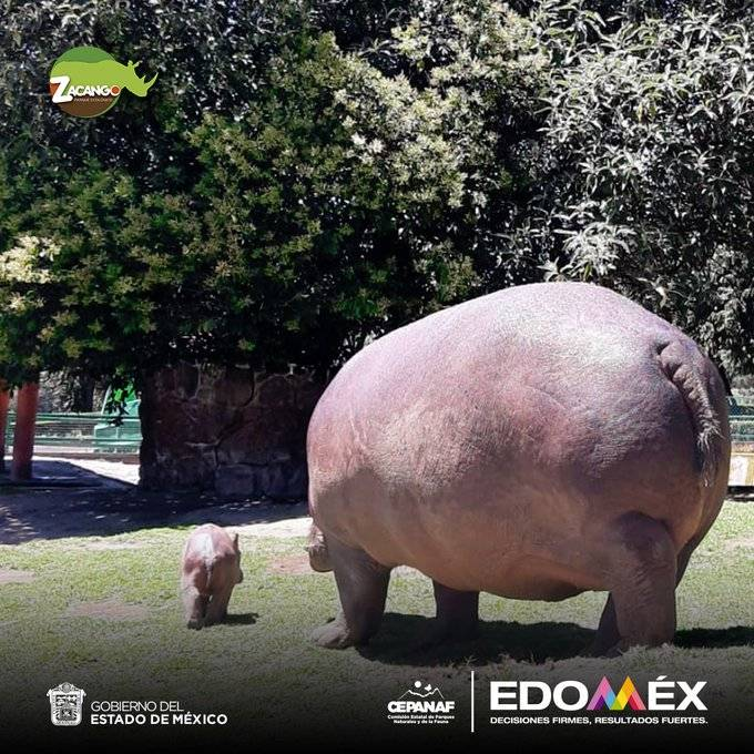 Nace hipopótamo del Nilo en Zacango, Estado de México