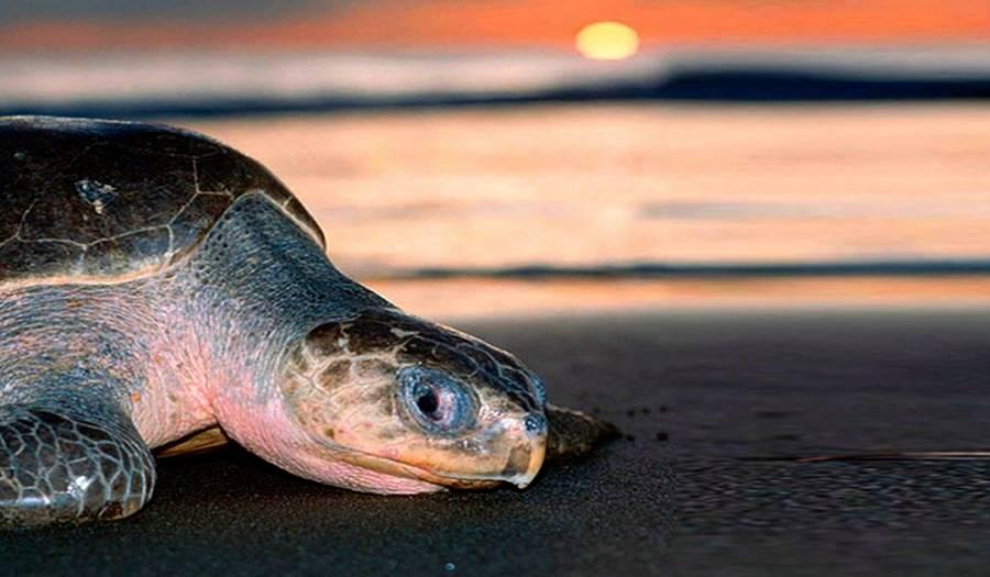 Nidos de miles de tortugas en playa de Puerto Escondido