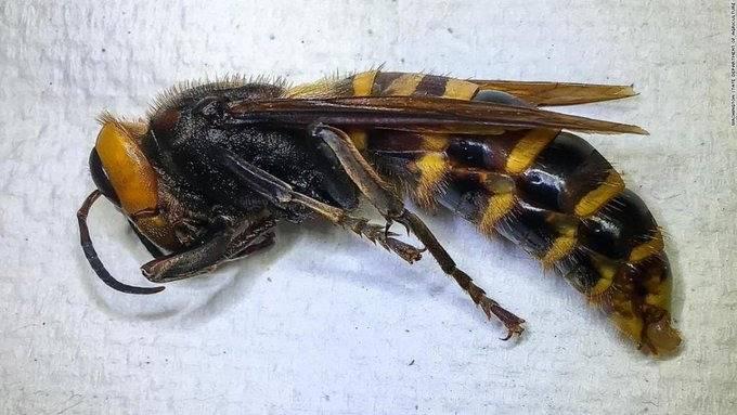 Ya capturaron al primer avispón gigante de Asia en Estados Unidos