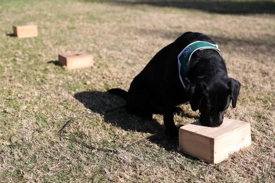 De caza explosivos a rastreadores  de Covid, entrenan perros en Chile