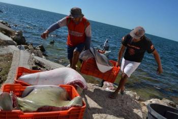 Establecen veda temporal para pesca de cangrejo azul en Veracruz
