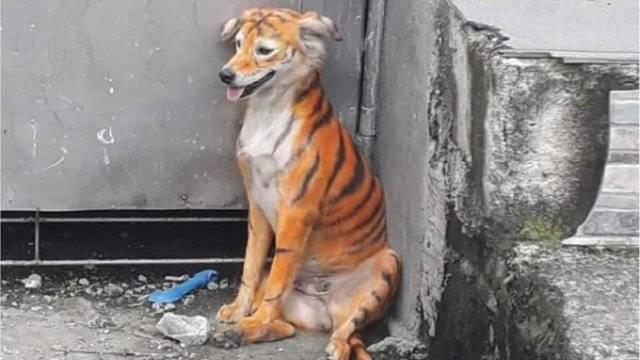 Denuncian maltrato animal por pintar a perro como tigre