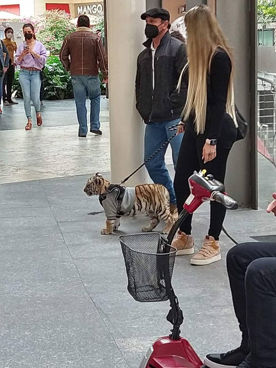Causa indignación el paseo del pequeño tigre de Bengala en plaza de Polanco