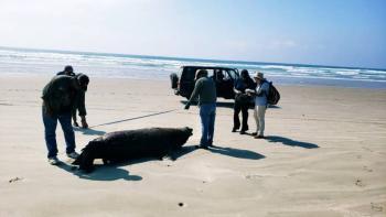 Investigará Profepa inusual muerte de 137 lobos marinos en BCS