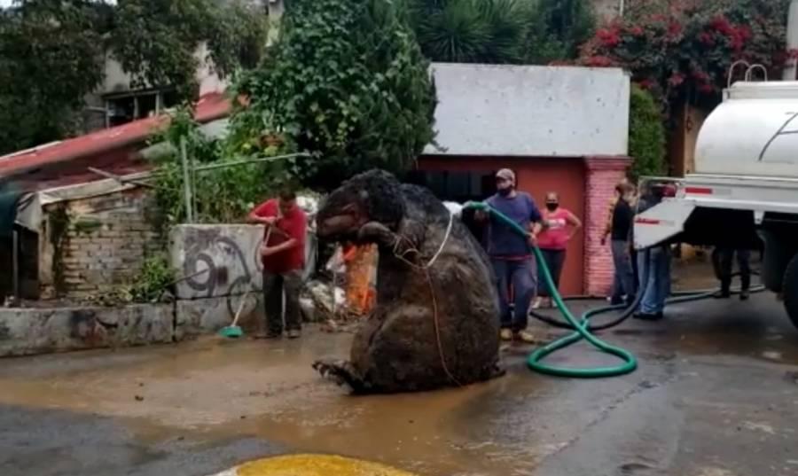 Encuentran a rata gigante en las alcantarillas de la Magdalena Contreras