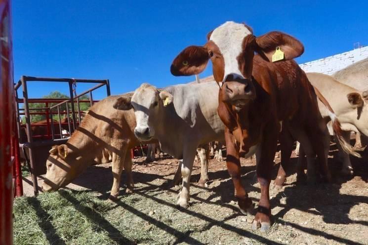 Exportaciones de carne de res y ganado en pie suman más de 2 mil 242 mdd ante Covid-19: Oswaldo Cházaro