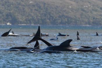 Cientos de ballenas quedan varadas en costa de Australia