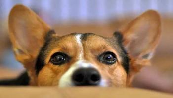 Tamaulipas prohibirá la mutilación de colas y orejas a mascotas