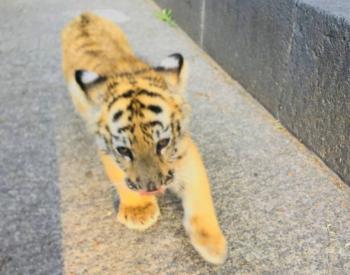 Profepa asegura a cachorra de tigre de bengala en Naucalpan