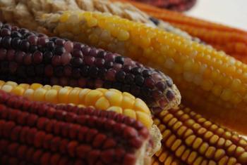 Sader y CIMMYT colaboran para mejorar las variedades de maíz
