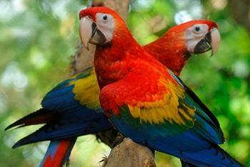 Por primera vez nacen crías silvestres de guacamayo rojo tras más de 100 años