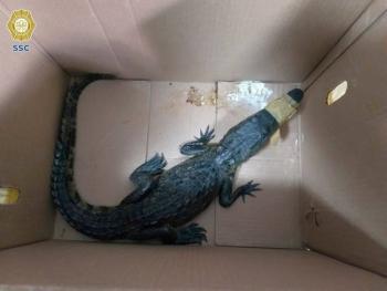 Brigada de Vigilancia Animal rescata a cocodrilo abandonado en la GAM [Video]