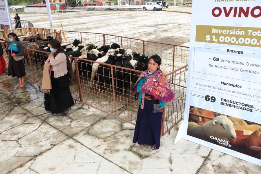 Rutilio Escandón entrega apoyos de producción de lana, miel, café y árboles frutales en la Región Altos Tsotsil Tseltal
