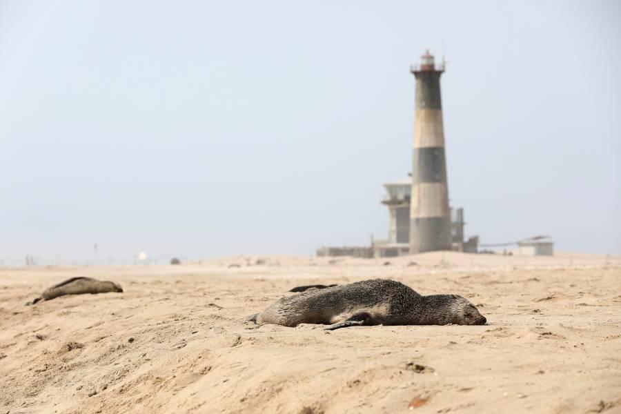 Hallan más de 7 mil focas muertas en una playa de Namibia