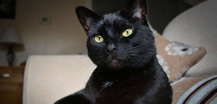 Organizan campaña para evitar lastimen a gatos negros en Halloween