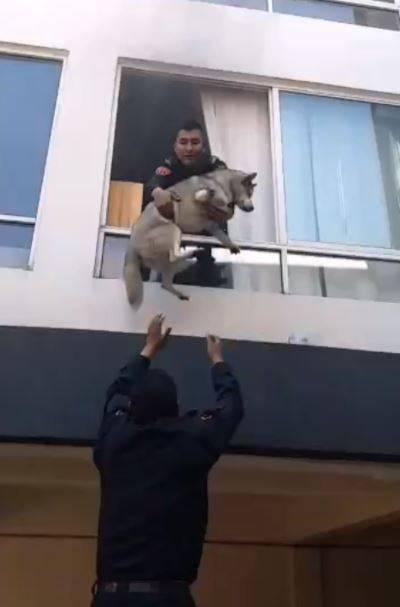 Al borde de la muerte; Policías rescatan a perro husky en la Nápoles