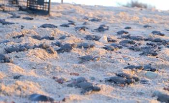 Ausencia de turistas permite nacer a miles de tortugas en playas de Sonora