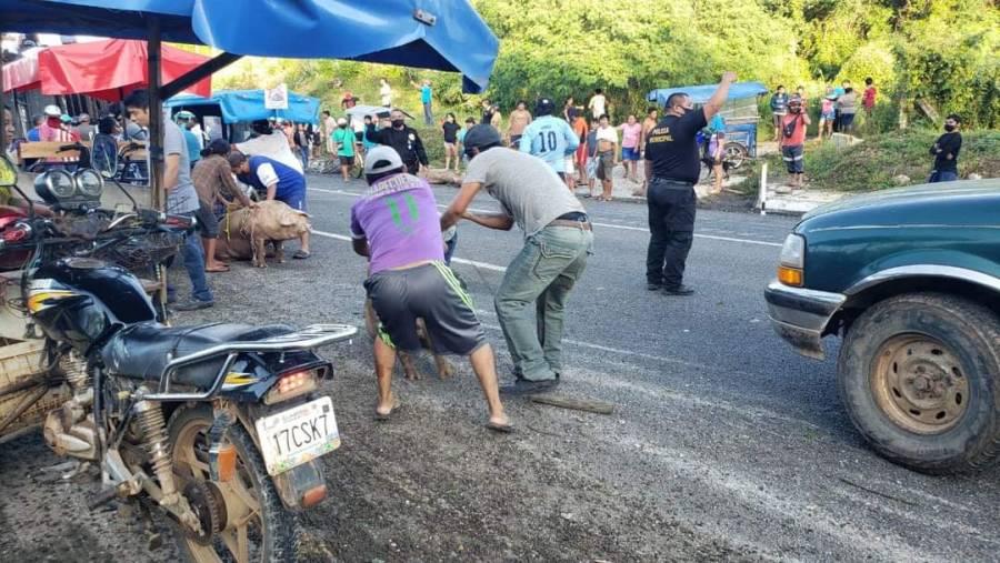 Video: Roban cerdos tras volcadura de camión en Campeche