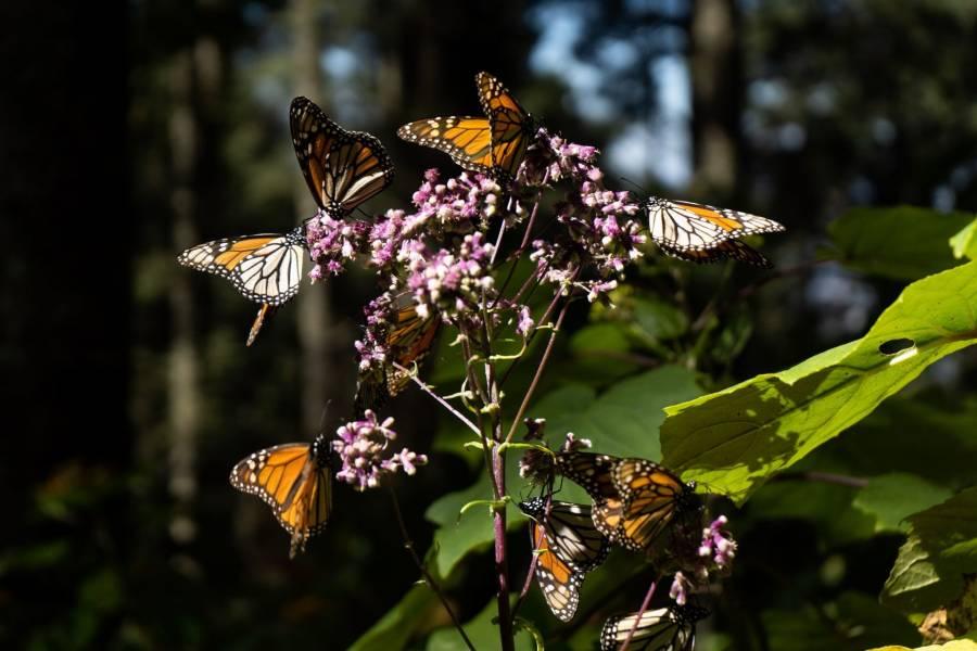 EdoMex: reapertura de Santuarios de mariposa monarca titubeante