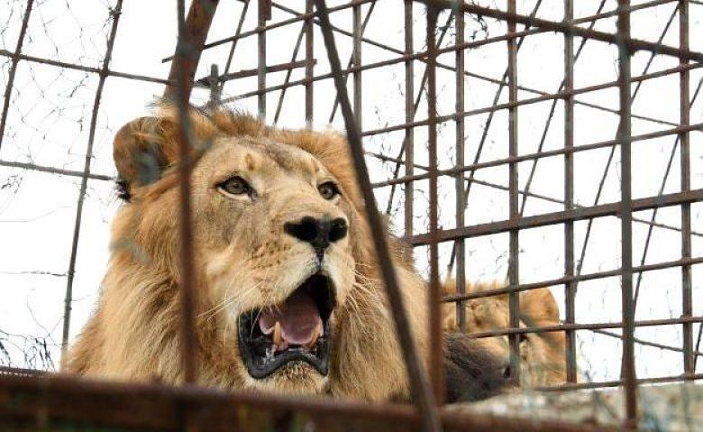 Presunta fuga de cuatro leones en Zumpango mantiene en alerta a las autoridades