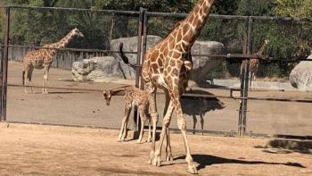 Jirafa nace en el Zoológico de Chapultepec de la CDMX