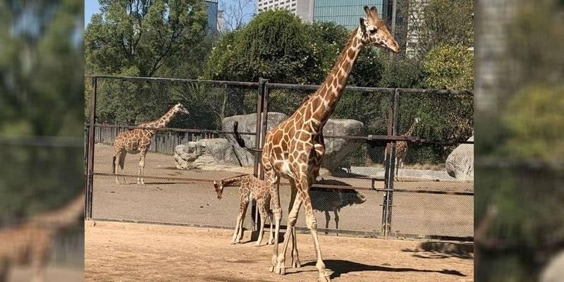 Claudia Sheinbaum anuncia nacimiento de jirafa en Zoológico de Chapultepec
