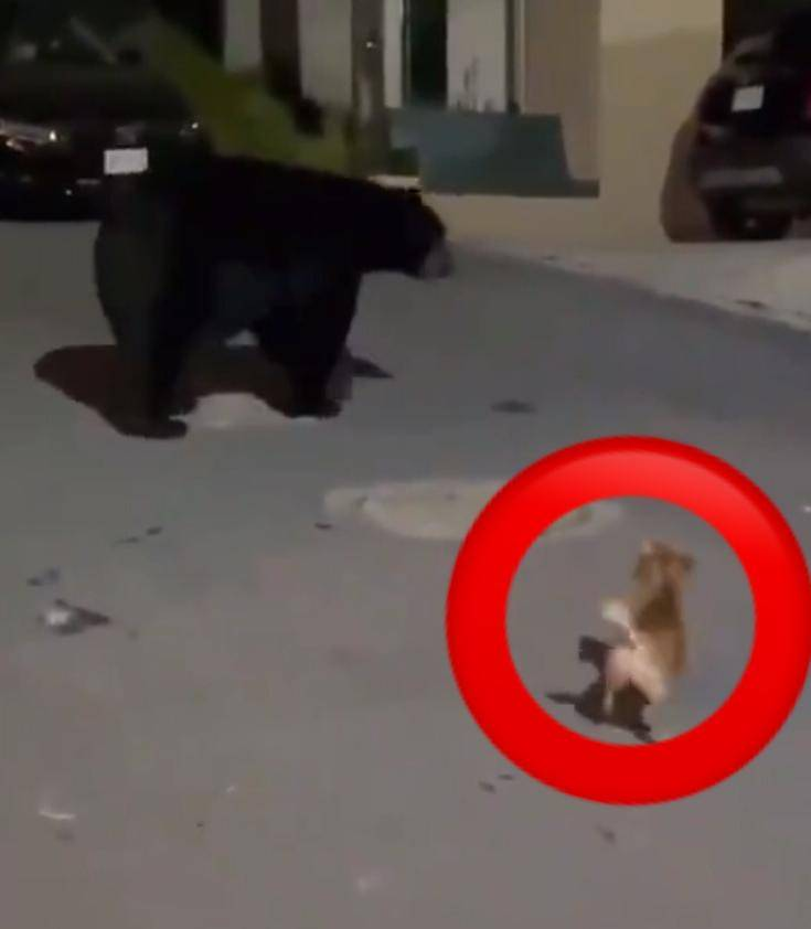 Video: perrito chihuahueño protege a su dueña de un enorme oso en Nuevo León