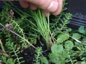 No más mala hierba en cultivo, IPN patenta biotecnología