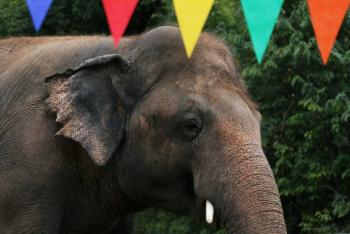 Kaavan, el solitario elefante de Pakistán, comienza una nueva vida en Camboya