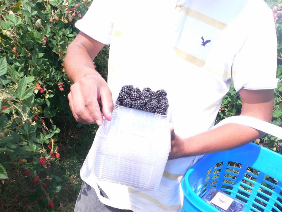 Integra Agricultura grupo de trabajo para elevar competitividad de pequeños productores de zarzamora