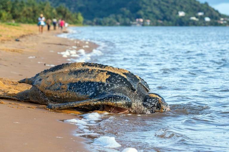 En Ecuador descubren nido de tortugas laúd, especie en peligro de extinción