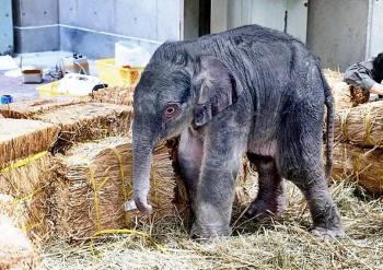 Zoológico de Tokio presenta primer elefante nacido allí en 138 años