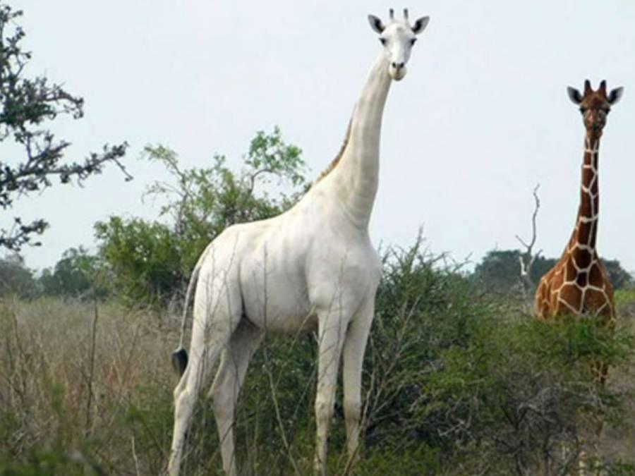 Última jirafa blanca será controlada con GPS para protegerla de cazadores