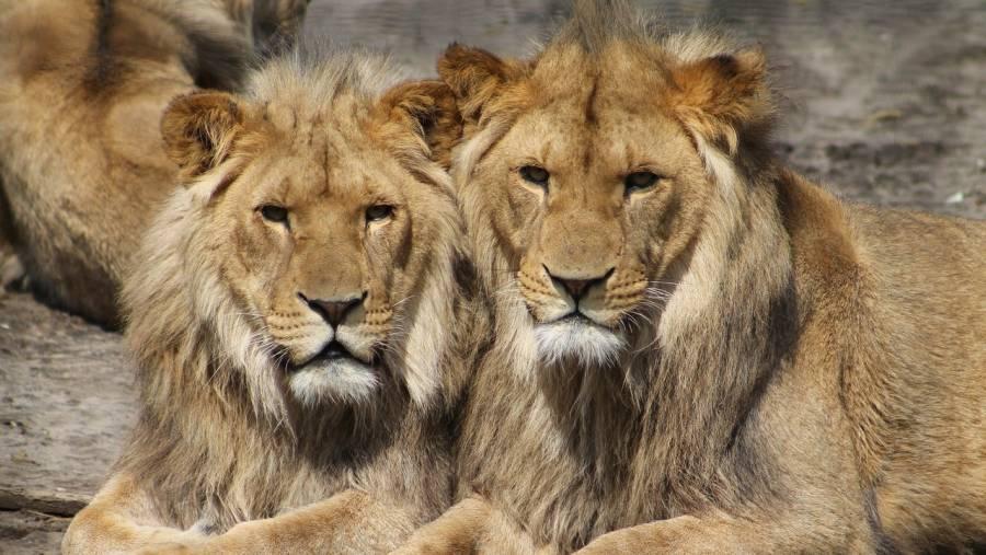 Cuatro leones en zoológico de Barcelona dan positivo a COVID-19
