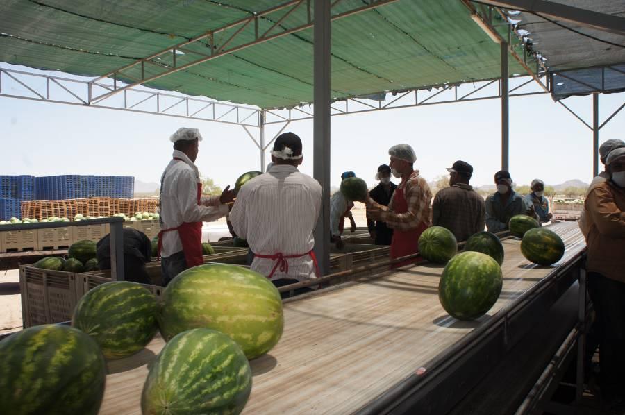 Destina Agricultura más de mil 800 mdp para acciones de sanidad e inocuidad agroalimentaria en estados