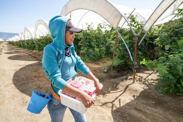 Suficiencia en producción agropecuaria a pesar de dificultades: Agricultura