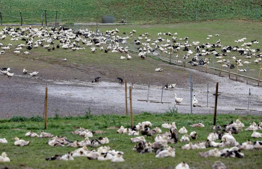 Por brote de gripe aviar, sacrifican miles de patos en Francia