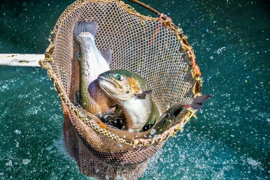 Reactivan centros acuícolas de pequeña escala en 10 entidades federativas