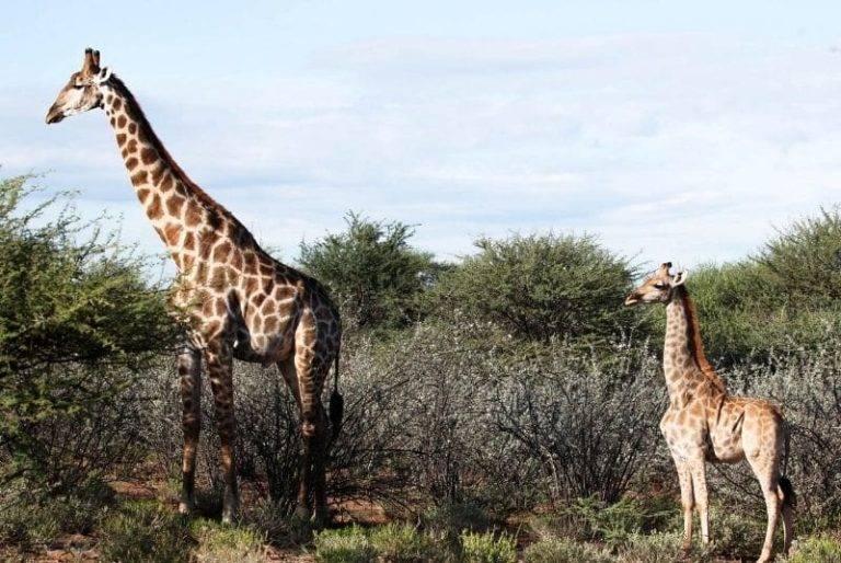 Científicos descubren dos jirafas enanas en Namibia y Uganda
