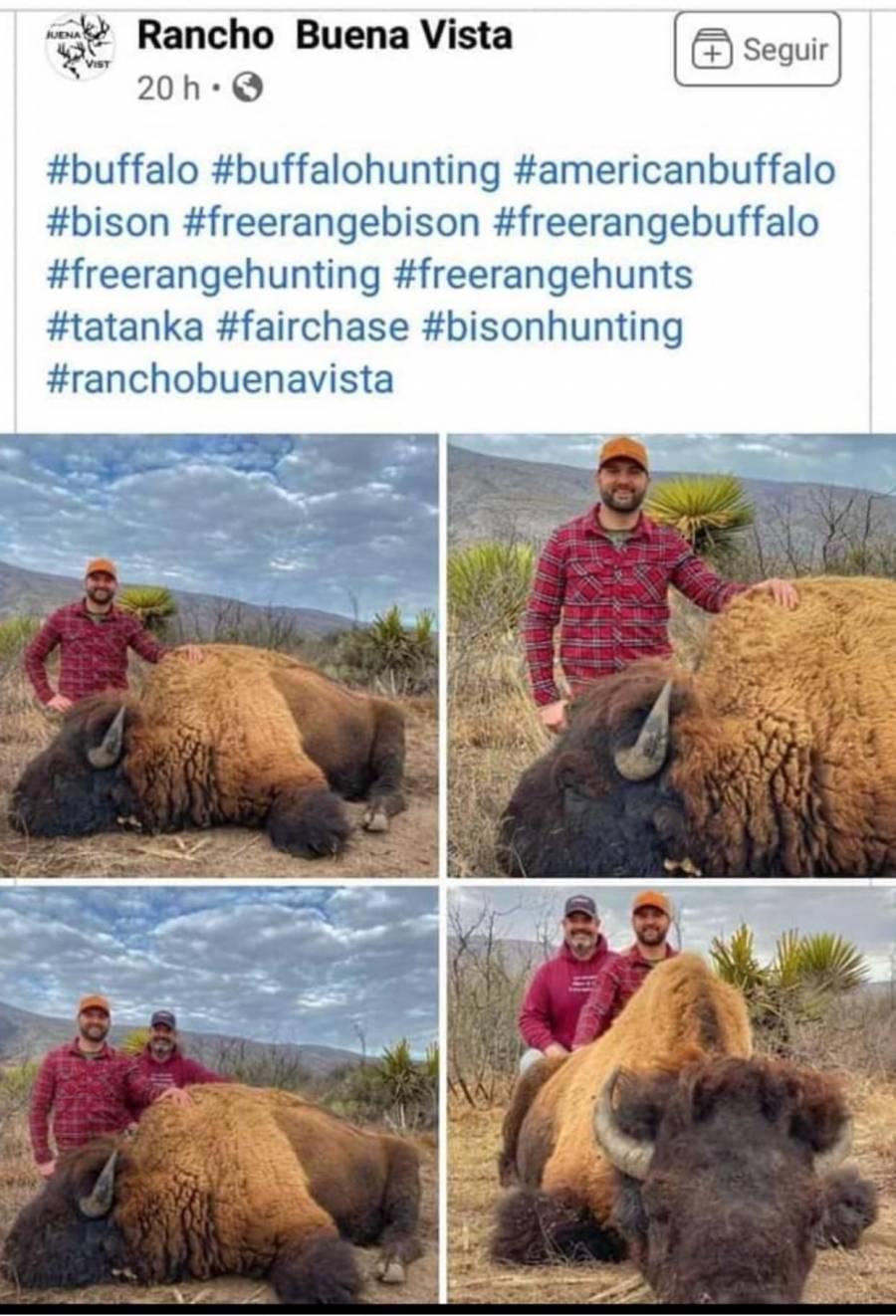 Por fin regresan los bisontes a Coahuila, pero presuntamente los cazan