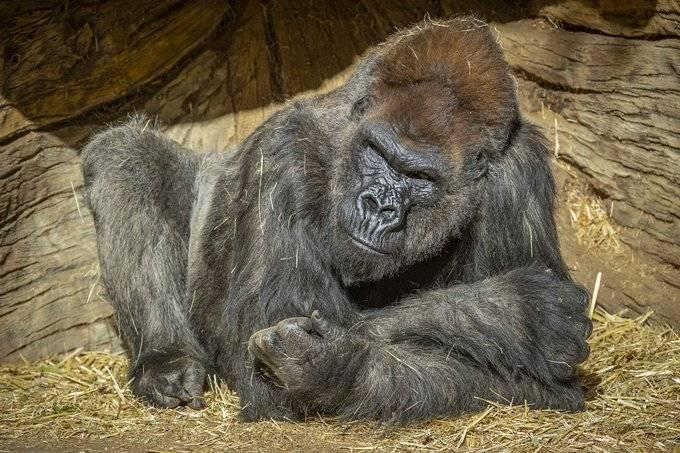 En el zoológico de San Diego dos gorilas dan positivo a Covid-19