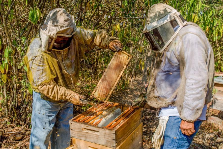 Agricultura trabaja en esquema de disponibilidad de azúcar a precios preferenciales para apicultores