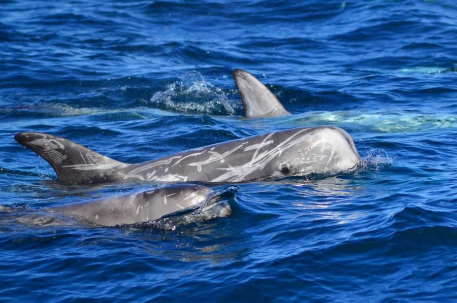 Incluyen al delfín gris en categoría